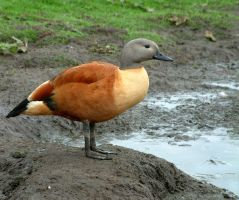 Cape Shelduck by April-Snowflake