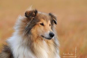 Rough Collie Cheyenne by unfrozenduck