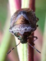 Shieldbug by iriscup