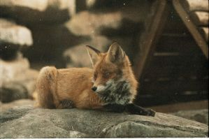 fox by NanaOsaka