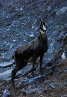 His highness the chamois by Sayanel-Chariakin