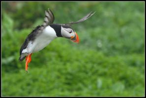 Puffin Landing II by nitsch