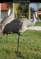 Sandhill Crane Stock 4 by Cassy-Blue
