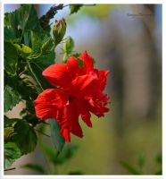 red hibiscus,.,.--,.,--- by burcyna