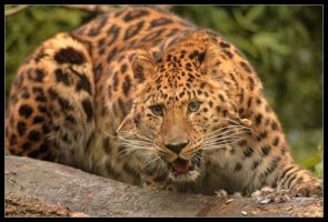 In the line of the panther... by Wereldreizigster