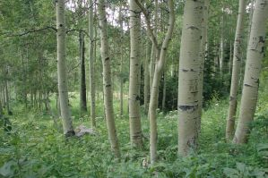 Aspen Tree by Miffliness-Stock