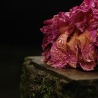 Withered Red Rose by Arcius-Azrael