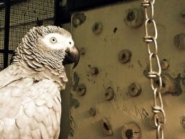 Grey Parrot by ManiaRapunzel