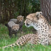 Cheetah Cubs 176 13s by Haywood-Photography