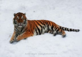 Tiger on the snow 3 by Jagu77
