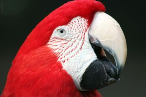 Red and Green Macaw by greyloch-md