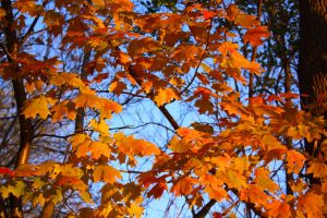 Autumn Maple Wallpaper by KeswickPinhead
