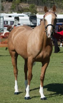 Palomino-mare5 by tbg-stock-images