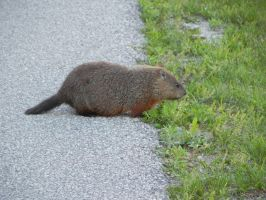 Groundhog 003 by presterjohn1