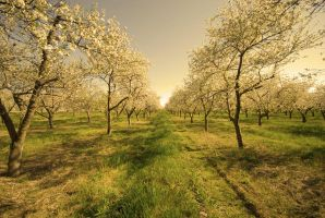 Spring Orchard by myrnajacobs