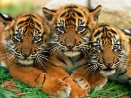 Cute Tiger Cubs by FinalFantasy4ever199