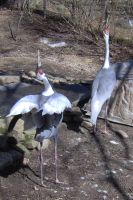 White Naped Crane Mating Dance by Shara-Moonglow