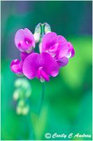Wild Violet by CecilyAndreuArtwork