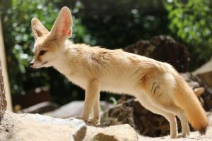 Fennec Stock 10 by Malleni-Stock