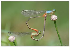 Mating Damselflies by melvynyeo