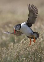 Puffin by Albi748