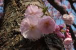 Cherry Blossom 4 by wuestenbrand