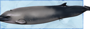 Sowerby's Beaked Whale by Nioell