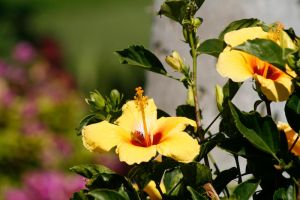 Yellow Hibiscus 1 by Stickfishies-Stock