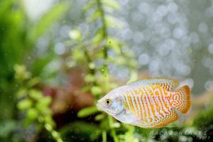 Dwarf Gourami by thebreat