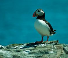 puffin 8 by svendo