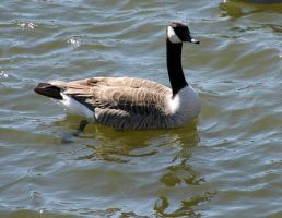 goose 1 by jchrist04