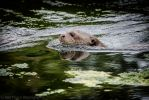 Giant Otter 131-10-13 by lomoboy