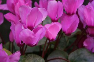 cyclamen 1 by ingeline-art