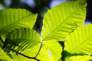 Green Leaves by iloveallthepoisn