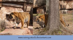 Tiger Tiger-pack-STOCK by Rainny-Stock