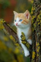 Blue Eyed Kitty by SmileyG