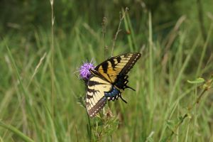 Tiger Swallowtail by KYghost