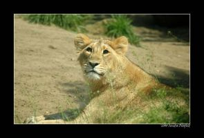 Young lion by grugster
