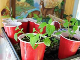 Peppers are growing great! by kaceymears