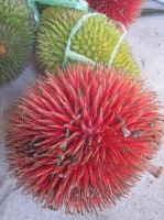 RED DURIAN (buah tutong) (3) by oushua