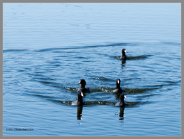 5 of Coots by Mogrianne