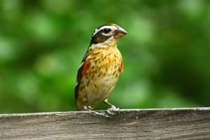 Young Rose-breasted Grosbeak by sapphiresphinx