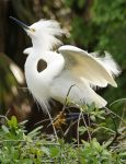 Snowy Egret Take Off by Fail-Avenger