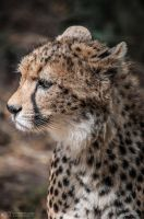 Cheetah, Landau I by FGW-Photography