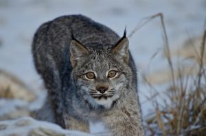 Canadian Lynx II by White-Voodoo