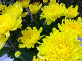 Yellow Chrysanthemum by KateConan