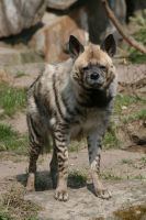 Hyena 001 by neverFading-stock