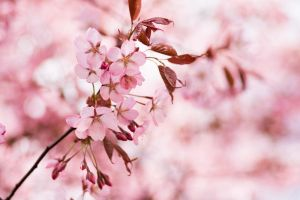 Cherry tree by X-chromosome