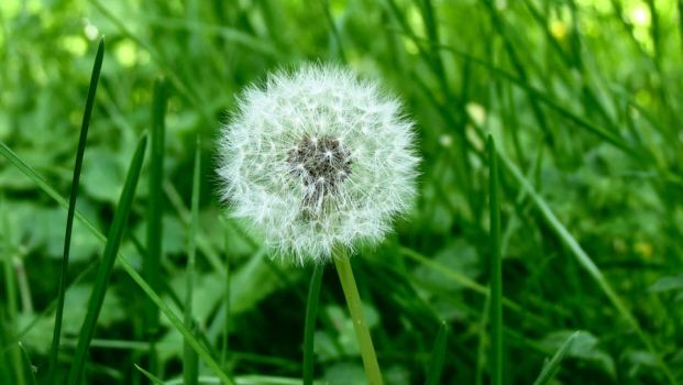 Dandelion (HD Wallpaper) by Pimpernel