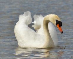 Swans 2014 2 5 by melrissbrook